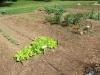 community-garden-5-26-2013-12
